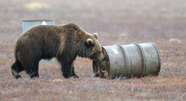 Медведь нюхает бочку с реактивным топливом