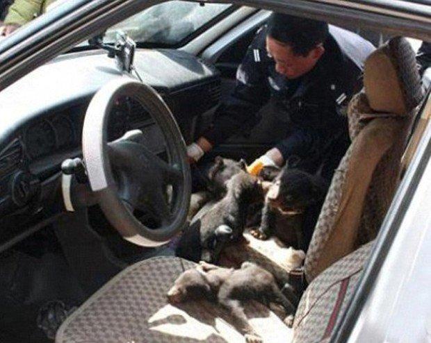 Медвежата в автомобиле Ву Мэнга