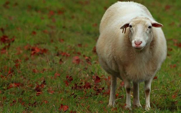 Австралийская овца