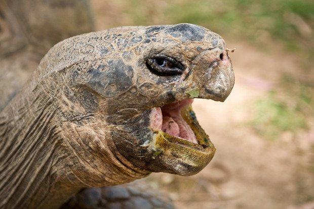Черепаха зевает