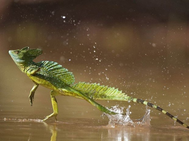 Василиск гуляет по воде