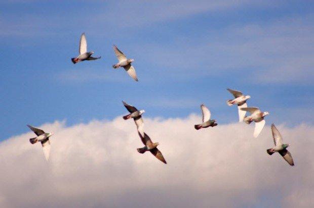 Почтовые голуби в небе