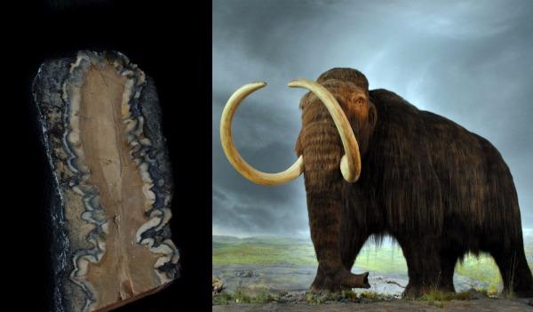 Зуб мамонта