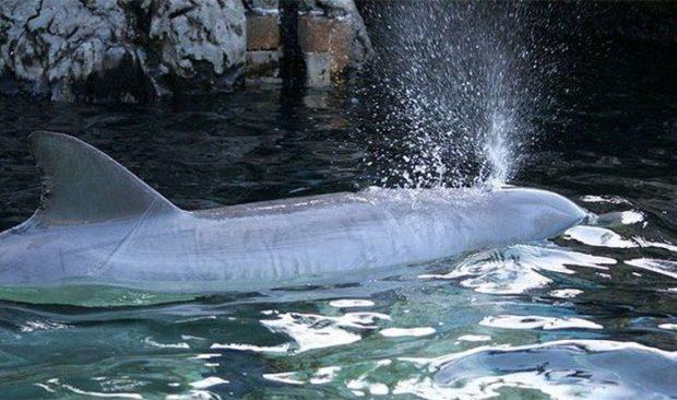 Дельфин дышит