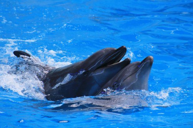 Спаривающиеся дельфины