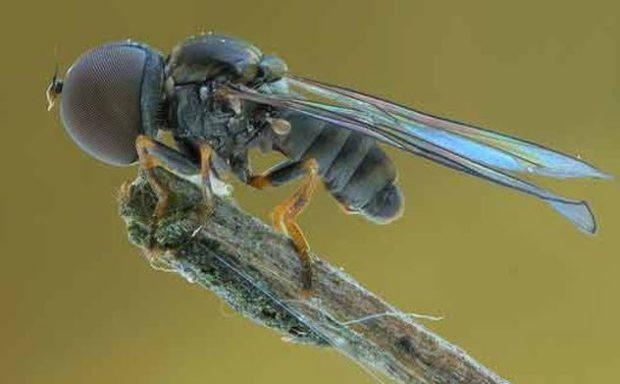 Большеглазая муха