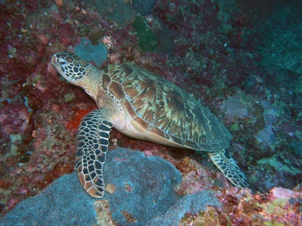 Черепаха Хоксбилла