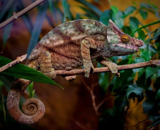 Факты о хамелеонах — 16
