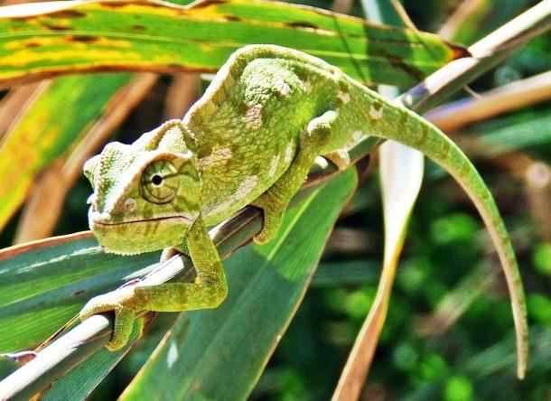 Факты о хамелеонах — 25