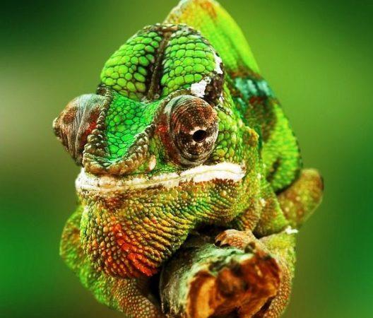 Факты о хамелеонах — 7