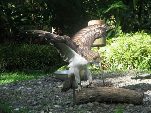 Филиппинский орёл