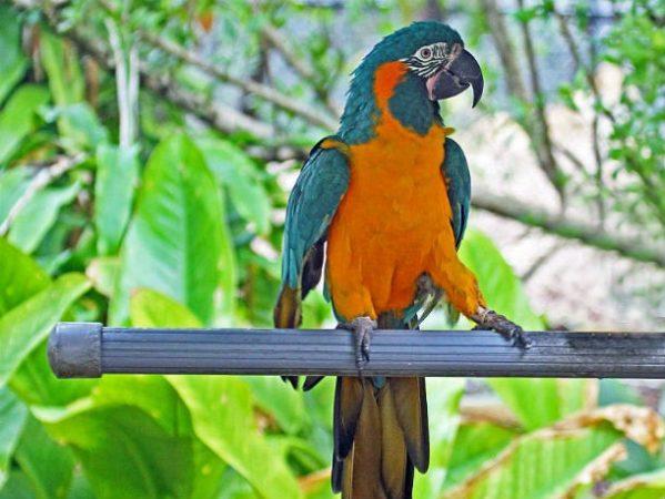 Синегорлый ара