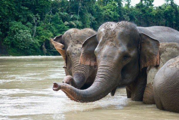 Суматранский слон
