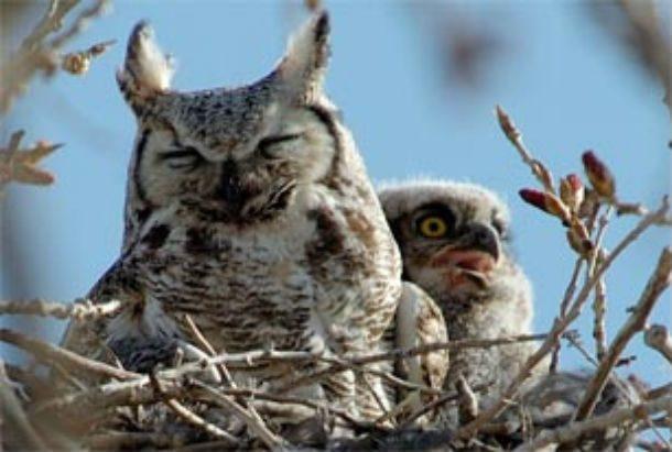 Уши совы на самом деле не являются ушами в прямом смысле