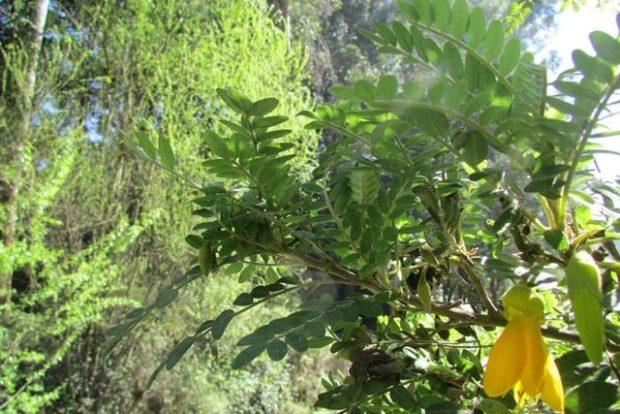 Sophora toromiro — 1965 год (остров Пасхи)