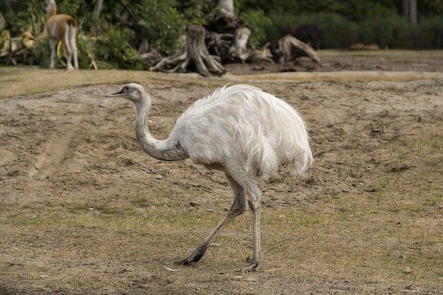 Секс с страусами