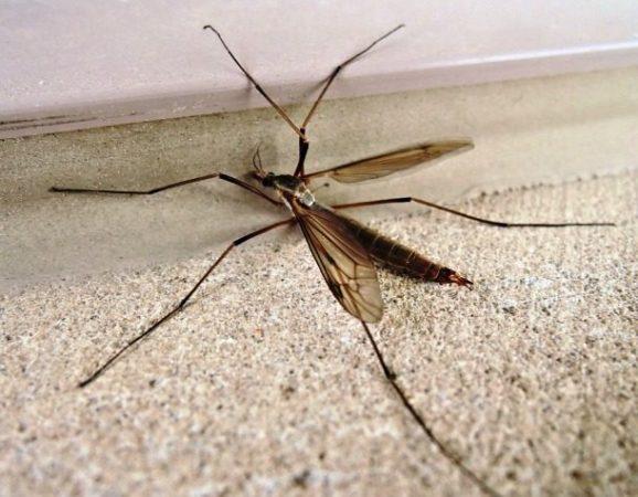 Комары-долгоножки