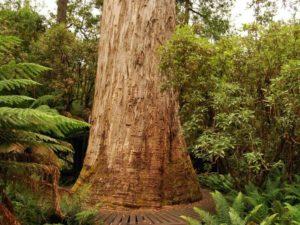 10 самых высоких деревьев на планете.