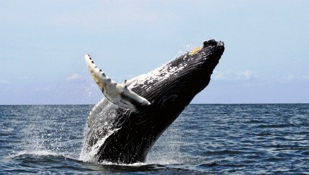 Танец горбатого кита
