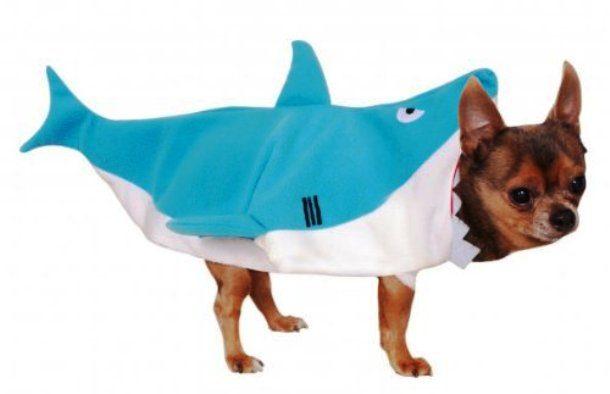 Чихуа-хуа в костюме акулы