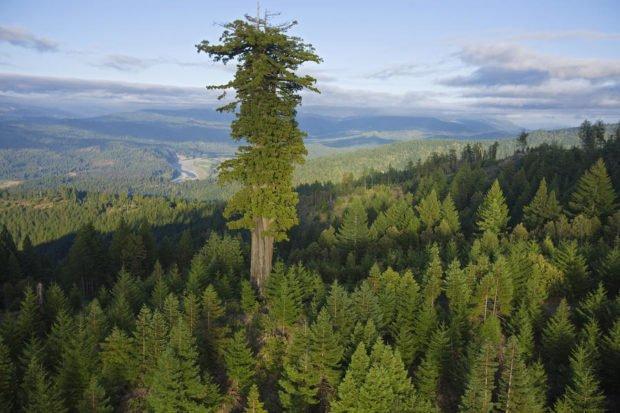 Дерево Мендочино (по названию местности), США