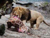 Так ли страшен царь зверей? Проверим.