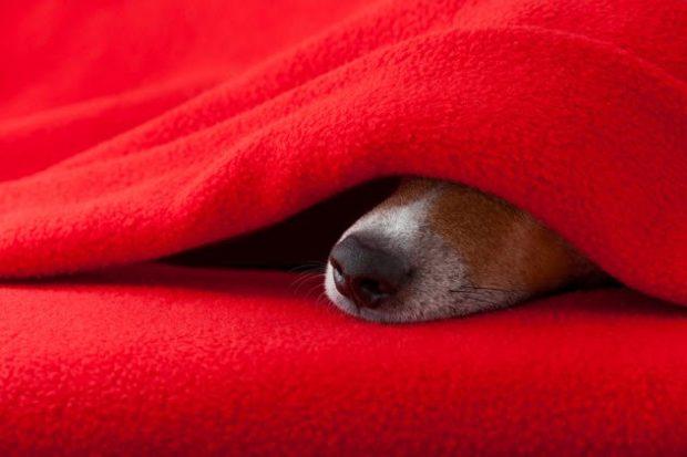 Нос собаки торчит из-под пледа