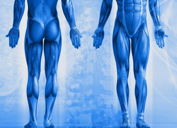 Схема мышечного корсета человека