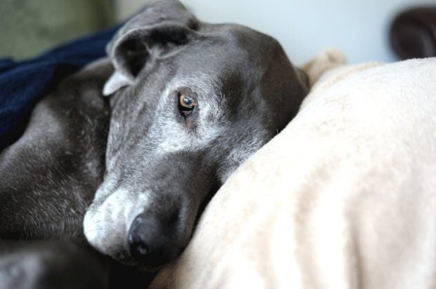 Собака лежит под одеялом