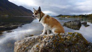 Норвежский лундехунд на камне