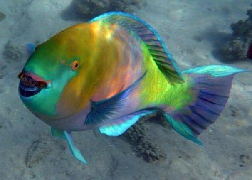 Скаровая рыба