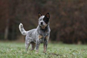 Австралийская короткохвостая пастушья собака