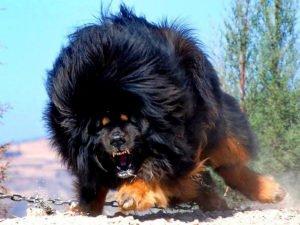 Злой тибетский мастиф