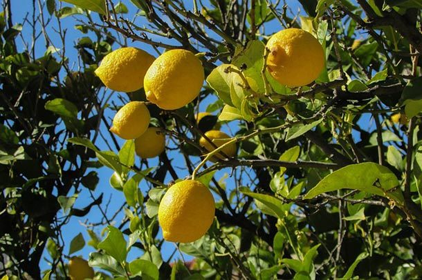 Кража лимонного дерева