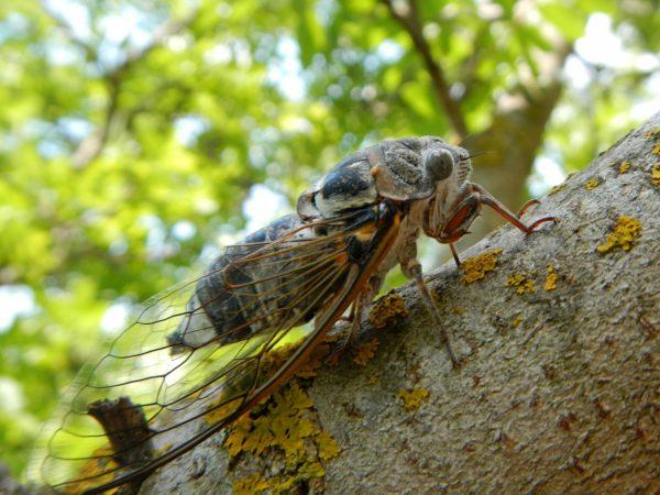 Крымская цикада