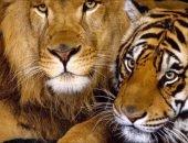 два тигра и лев