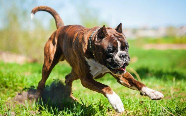Дрессированная собака породы боксёр