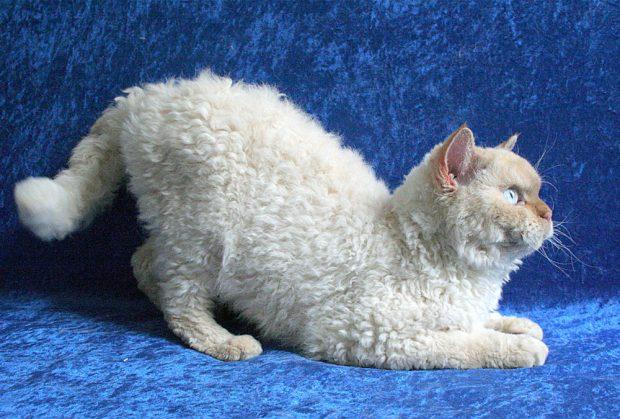 самые глупые породы кошек