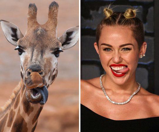 Сходство жирафа и Майли Сайрус