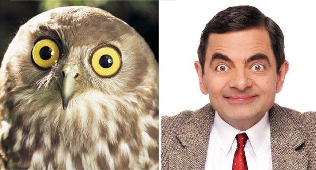 Сходство совы и Роуэна Аткинсона