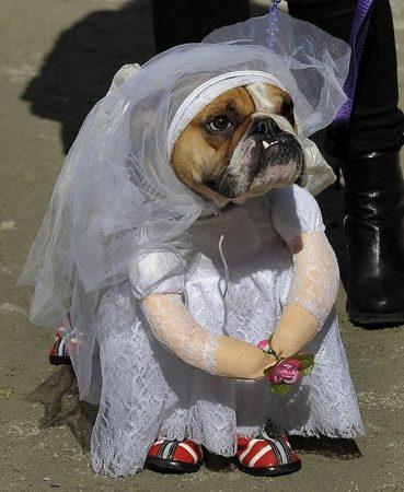 Собака в наряде невесты