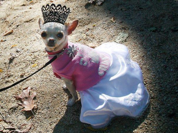 Собака в короне и красивом платье