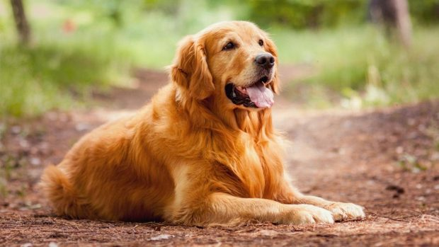 10 most beautiful breeds of dogs