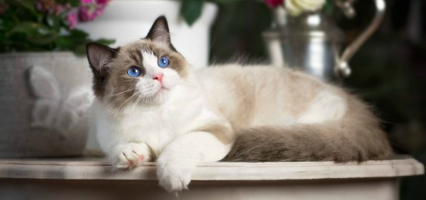 10 most beautiful breeds of cats