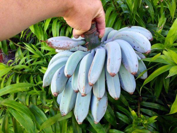 Бананы «Голубая Ява»