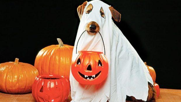 Собака в костюме привидения с тыквами