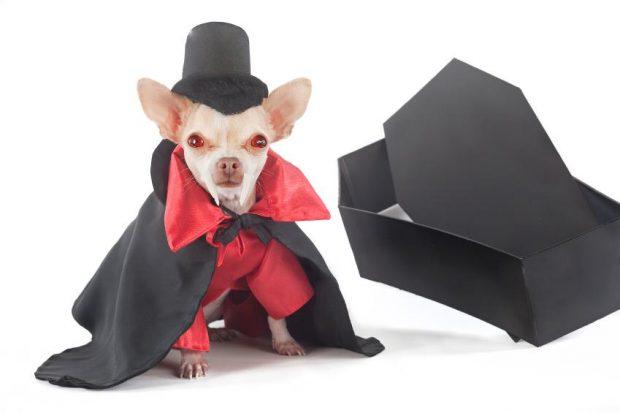 Пёсик в костюме графа Дракулы