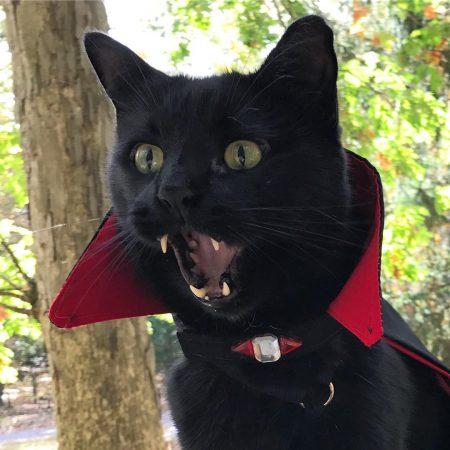 Чёрный кот в костюме графа Дракулы
