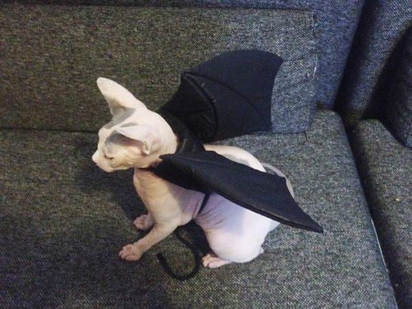 Кошка в костюме летучей мыши
