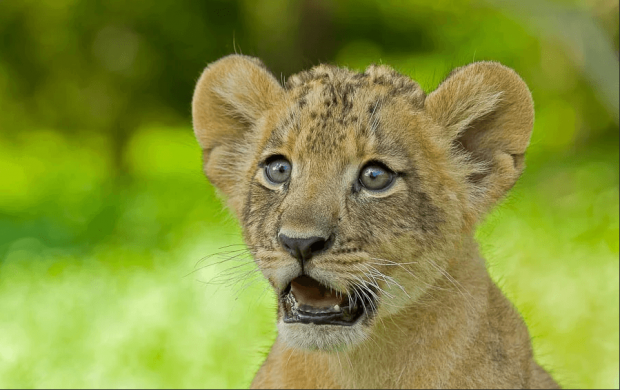 Удивленный львенок